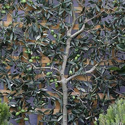 Olive trees care and pruning nurseries online uk for Growing olive trees indoors
