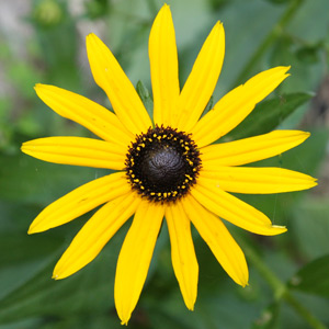 Autumn Flowering Rudbeckia