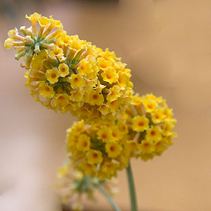 Buddleia Varieties Nurseries Online Uk