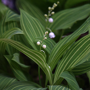 Variegated Lily of the Valley