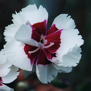 Red and White Dianthus Flower