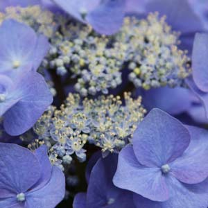 Hydrangea macrophylla 'Nightingale'