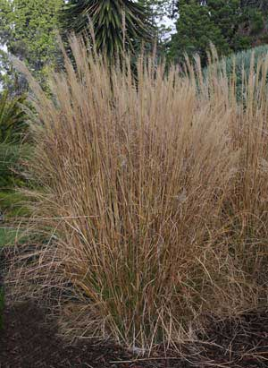 miscanthus sinensis 39 gracillimus 39 nurseries online uk. Black Bedroom Furniture Sets. Home Design Ideas