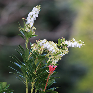 White flowering Pieris