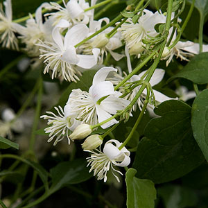 Climbing plants nurseries online uk white flowering climbing plant mightylinksfo
