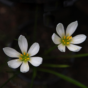 Zephyranthes candida bulbs in flower