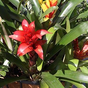 hBromeliads in Hanging Basket