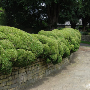 Clipped informal hedge