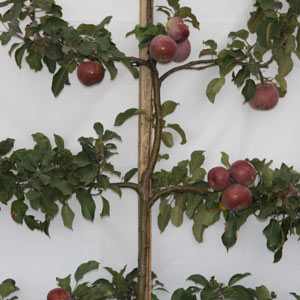 Apple Tree pruned as an Espalier
