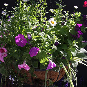 Hanging Basket with perennial flowers