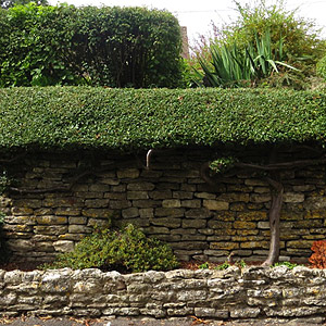 Hedge growing over wall