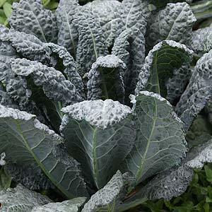 Kale in the vegetable garden