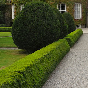 Low Growing Formal Hedge