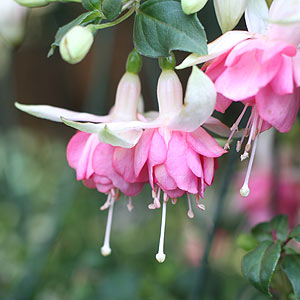 Fuchsia Plant, Pink and White Flowers