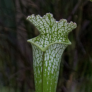 sarracenia-leucophylla-close-up