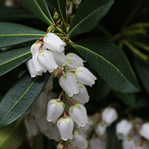 Winter Flowering Pieris japonica
