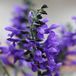 Salvia Plant in Flower