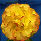 Tequila Sunrise Rose Photograph
