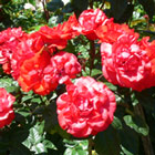 Cathedral City Rose Photograph