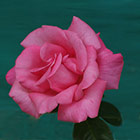 Perfume Delight Rose Photograph