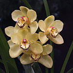 Cymbidium-Orchid-Flower-Golden-Fortune-Delight