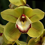 Cymbidium-Orchid-Flower-Lunara-x-Kellys-Winter.