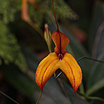 Masdevallia-Orchid-Burnt-Orange