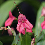 Masdevallia-Orchid-Flower-Pink-Stripes